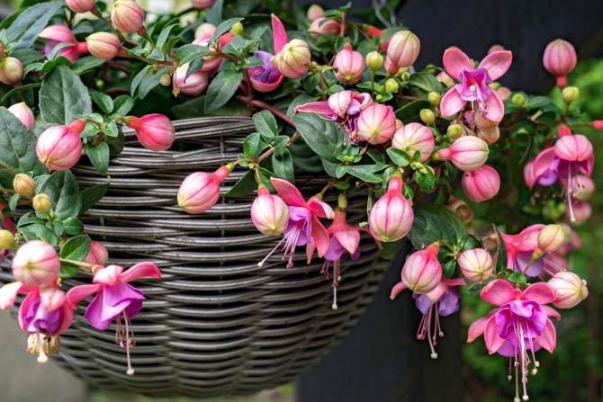 Balkonpflanzen Fuchsie