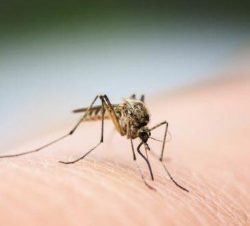 Mücken übertragen Coronavirus nicht