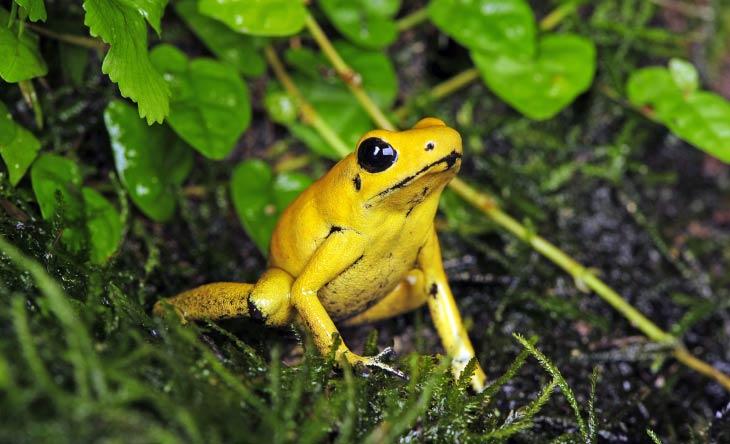 Schrecklichen Pfeilgiftfrosch - giftigsten Tiere der Welt