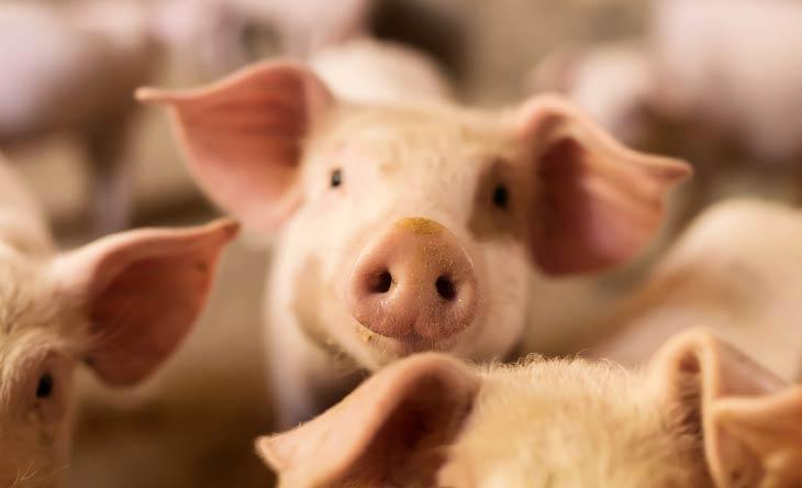 Was ist Schweinegrippe?