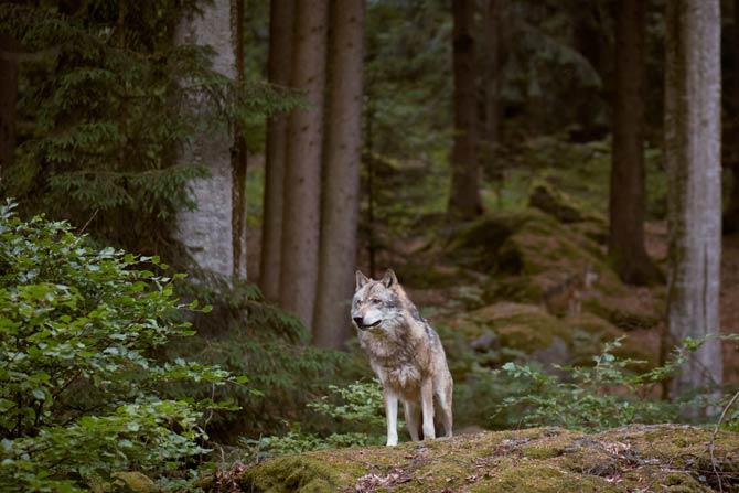 Wolf in Deutschland