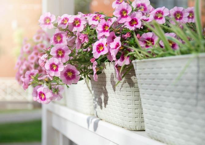 Balkonpflanze Petunien