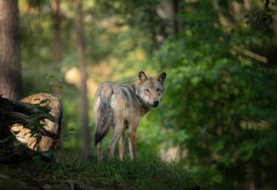 Begegnung mit einem Wolf