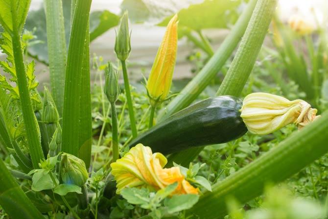 Sonniger Standort für Zucchini