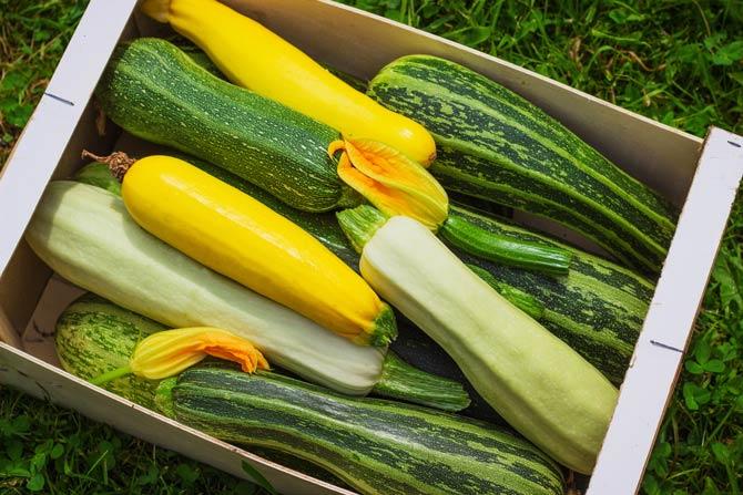 Zucchini ideales Gartengemüse