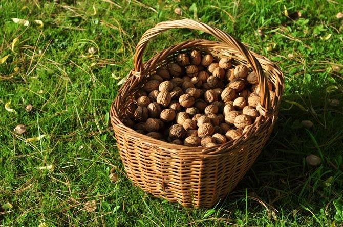 Nüsse sammeln im Park